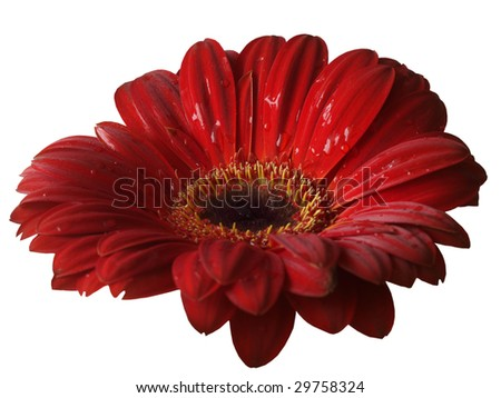 Single gerber flower isolated on white