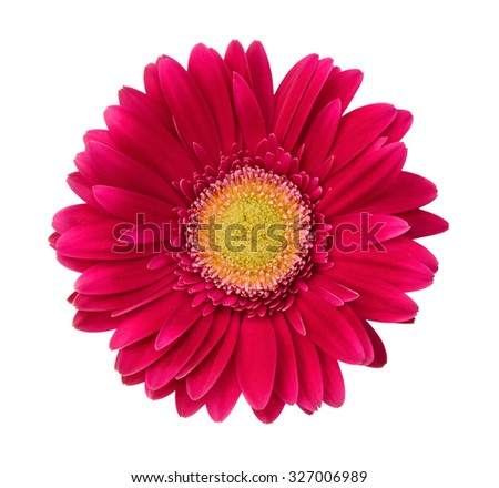 Single Gerbera Blossom on a white background