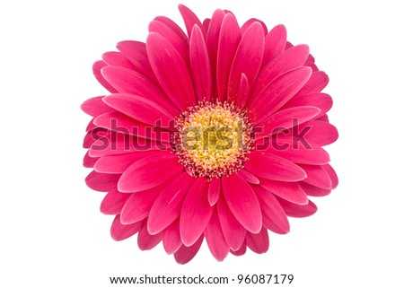 Single Gerbera Blossom on a white background - stock photo