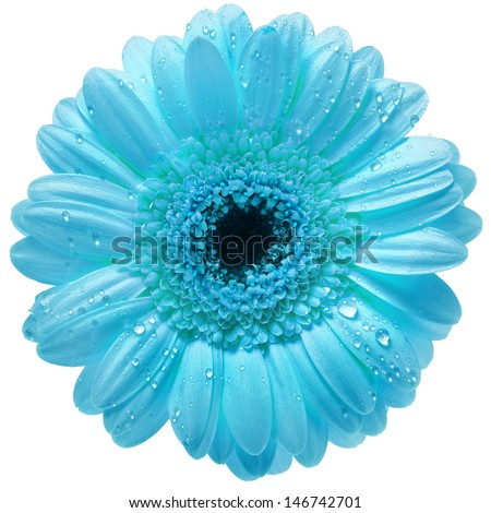 Single Gerbera flower with water drops  isolated on white background  - stock photo