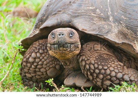 Single giant tortoise looking face on to camera showing a closeup of the face. - stock photo