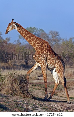 Single Giraffe in South Africa, wildlife - stock photo