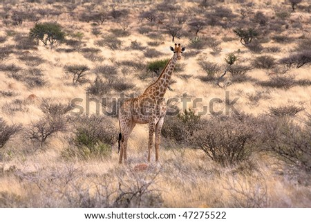 single giraffe in southern african bushveld