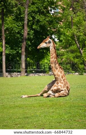 Single giraffe looking around in zoo nature - stock photo