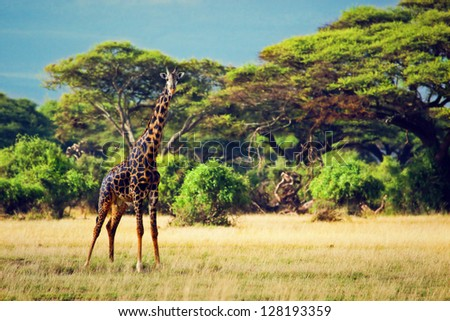 Single giraffe on savanna. Safari in Amboseli, Kenya, Africa - stock photo