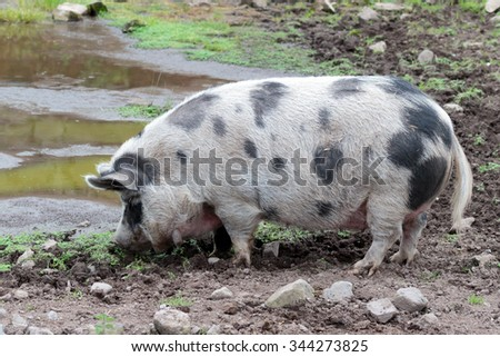 Single Gloucestershire Old Spot pig drinking form a muddy water pool