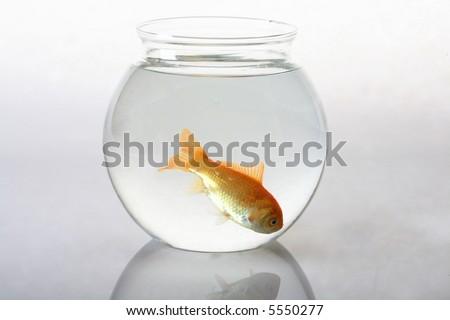 Single goldfish in bowl - stock photo
