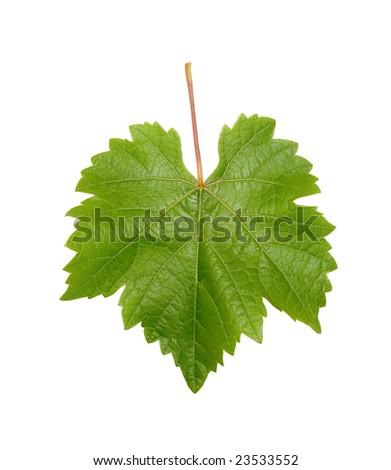 Single grapevine leaf isolated on white background - stock photo