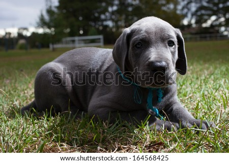 Single great Dane puppy that is lying on the grass - stock photo