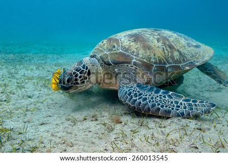 single great sea turtle with yellow exotic fish at the bottom of tropical sea- underwater