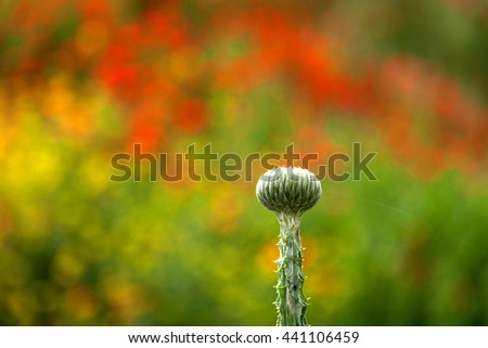 Single green bud with prickly stalk over the blurred background of fiery blooming field - stock photo