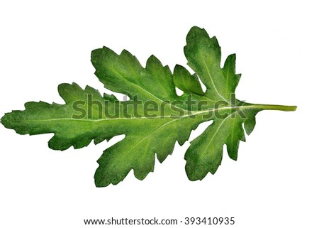 Single green carved beautiful chrysanthemum leaf closeup isolated on white background - stock photo