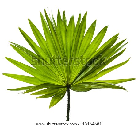 single green palm leaf (Livistona Rotundifolia palm tree) close up surface  isolated - stock photo