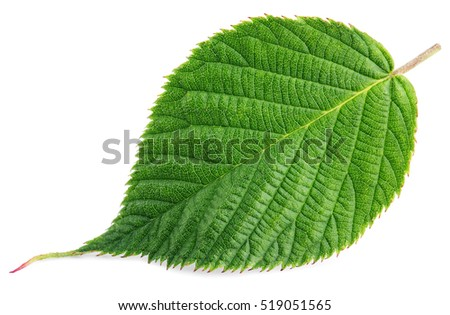 Single green raspberry (dewberry, blackberry, bramble berry) leaf isolated on white background