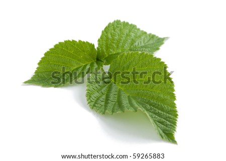 Single green raspberry leaf against the white background