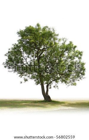 single green tree all alone on white background ready for a cut out