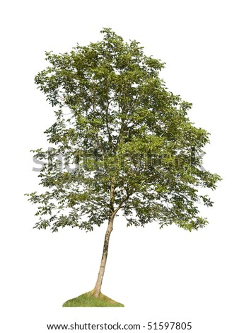 single green tree isolated on white background - stock photo