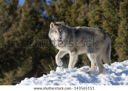 Single Grey Wolf in snow - stock photo