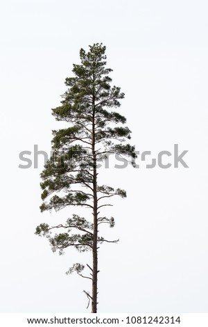 Single growing pine tree by a white background