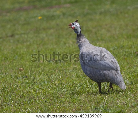 Single guinea on some grass that is away from its flock - stock photo
