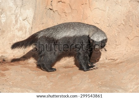 Single honey badger standing on a stone - stock photo