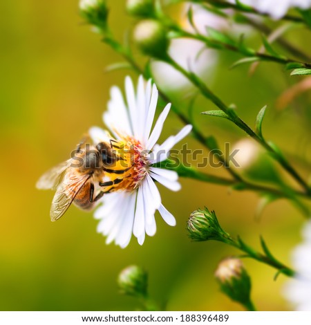Single honey bee gathering pollen from a daisy flower - stock photo
