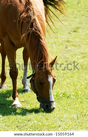 single horse grazing