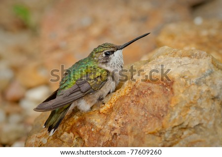 single hummingbird sitting still. Hummingbird has green and yellow feathers. - stock photo