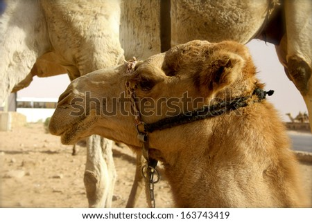 Single Hump Camels in Desert around Wadi Rum, Jordan - stock photo