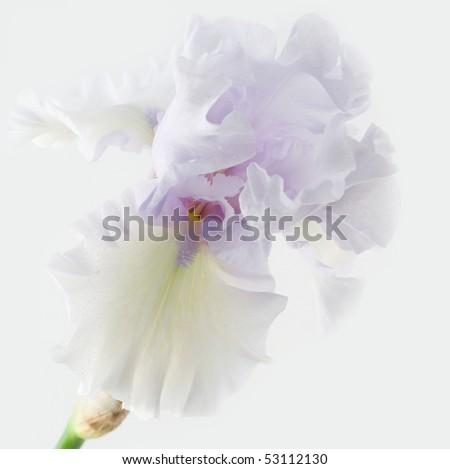 Single iris - stock photo