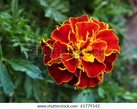 single isolated ruby and yellow marigold flower - stock photo
