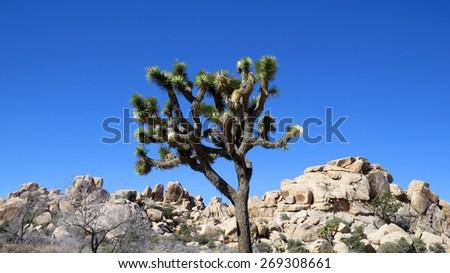Single Joshua tree and rocks against a blue sky - stock photo
