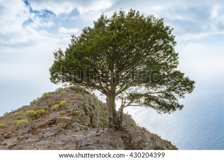 Single juniper tree at the steep coast on the long distance trail from the Valle Gran Rey to Arure on La Gomera, Canary Islands. The tree is situated on top of the cliff and well known in the valley - stock photo