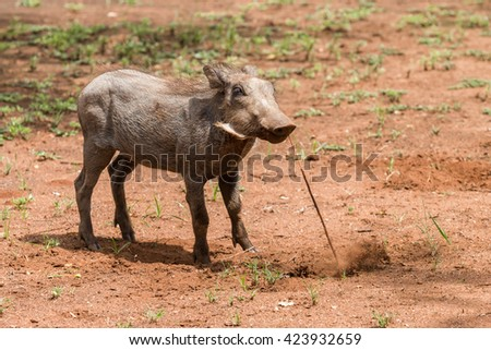 Single juvenile Warthog (Phacochoerus africanus) pulling at a root in the ground in Pilanesberg, South Africa - stock photo