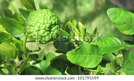 Single Kaffir Lime on Tree - stock photo