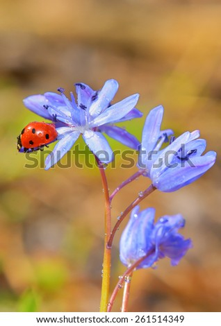 Single Ladybug on violet flowers in spring time - stock photo