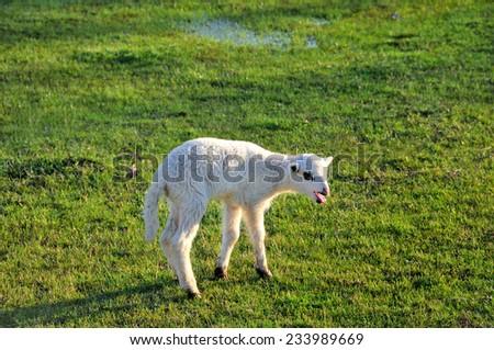 Single lamb on the meadow - stock photo