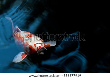 Koi stock images royalty free images vectors shutterstock for Black and gold koi fish