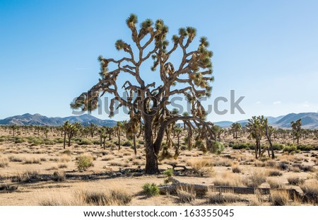 Single large tree in Joshua Tree National Park, California, USA.