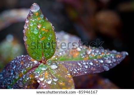 Single leaf in focus stands on top of a group of leaves out of focus. All leaves have large drops of water on them. - stock photo