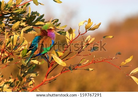 single lilac breasted roller bird perched in shrub in early morning golden light, side-view - stock photo
