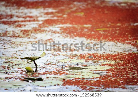 Single lily pad on a pond with red algae - stock photo