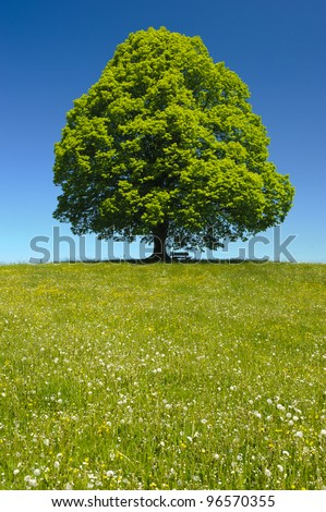 single linden tree at spring - stock photo