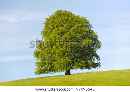 single linden tree at spring in meadow - stock photo
