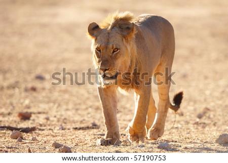 Single Lion (panthera leo) walking in savannah in South Africa - stock photo