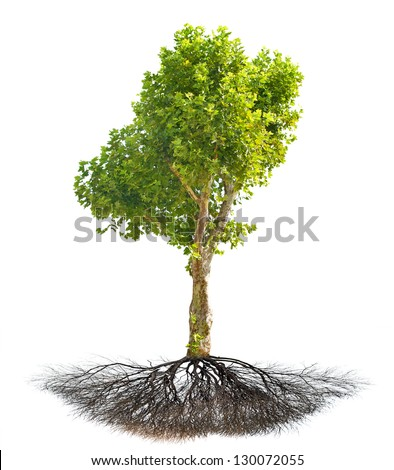 single London plane tree with root isolated on white background - stock photo