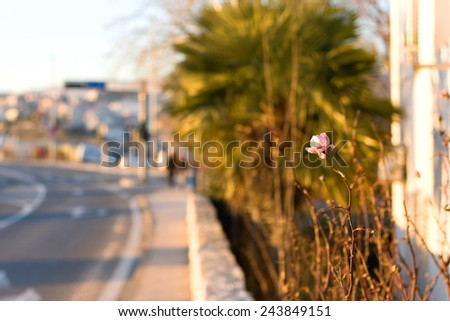 Single lonely pink rose by the road. Warm sunlight and selective focus. - stock photo