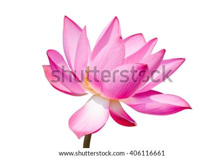 Single lotus flower isolated on white background - stock photo