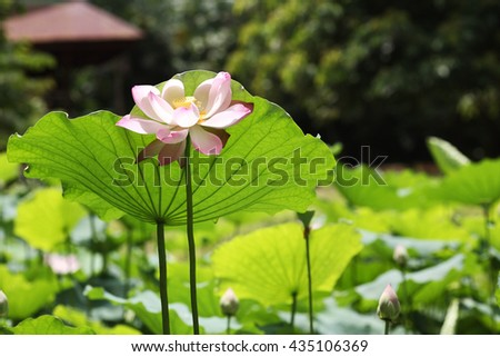 single lotus flower. Soft pink and bright green leaves. - stock photo