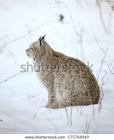 single lynx in winter forest closeup shot - stock photo